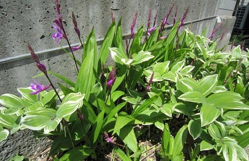 IMG_20130515-001紫蘭のお花♪.jpg