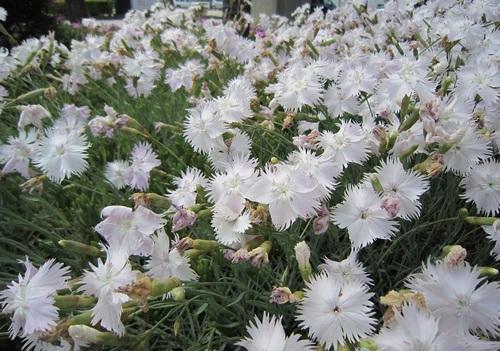 IMG_20130612-001なでしこのお花♪.jpg
