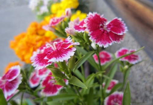 IMG_20140522-001実家のお花さん♪.jpg