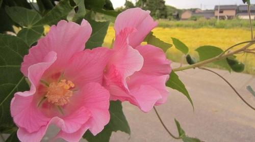 IMG_20140919-001実家のお花♪.jpg