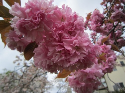 IMG_20150422-001八重桜♪.jpg