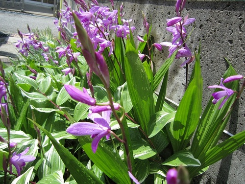 IMG_20130528-001紫蘭のお花♪.jpg