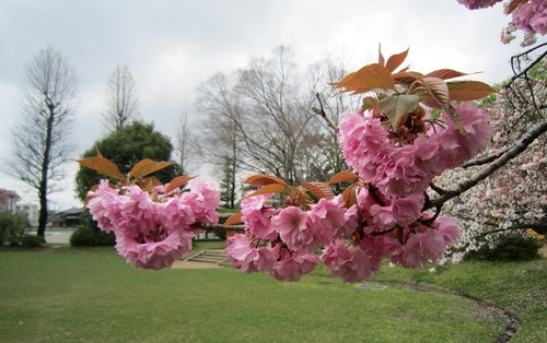 IMG_20150422-003八重桜♪.jpg