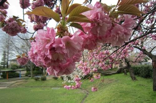 IMG_20150422-004八重桜♪.jpg