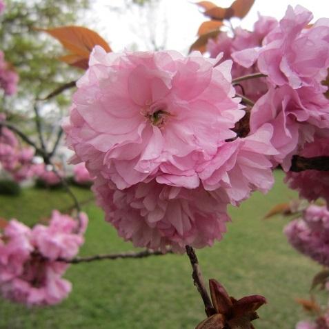 IMG_20150422-TOP八重桜♪.jpg