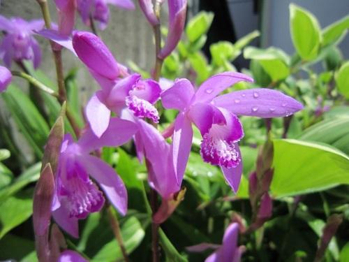 IMG_20150815-4466-001紫蘭(シラン)♪.jpg